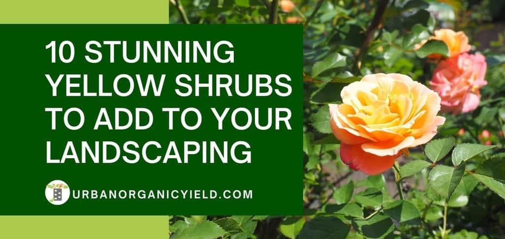 stunning yellow shrubs to add to your landscaping