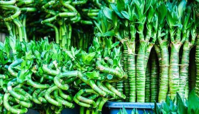 what is lucky bamboo dracaena sanderiana