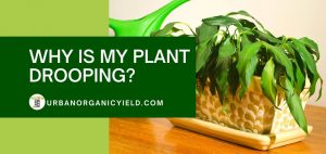 why is my plant drooping and answers