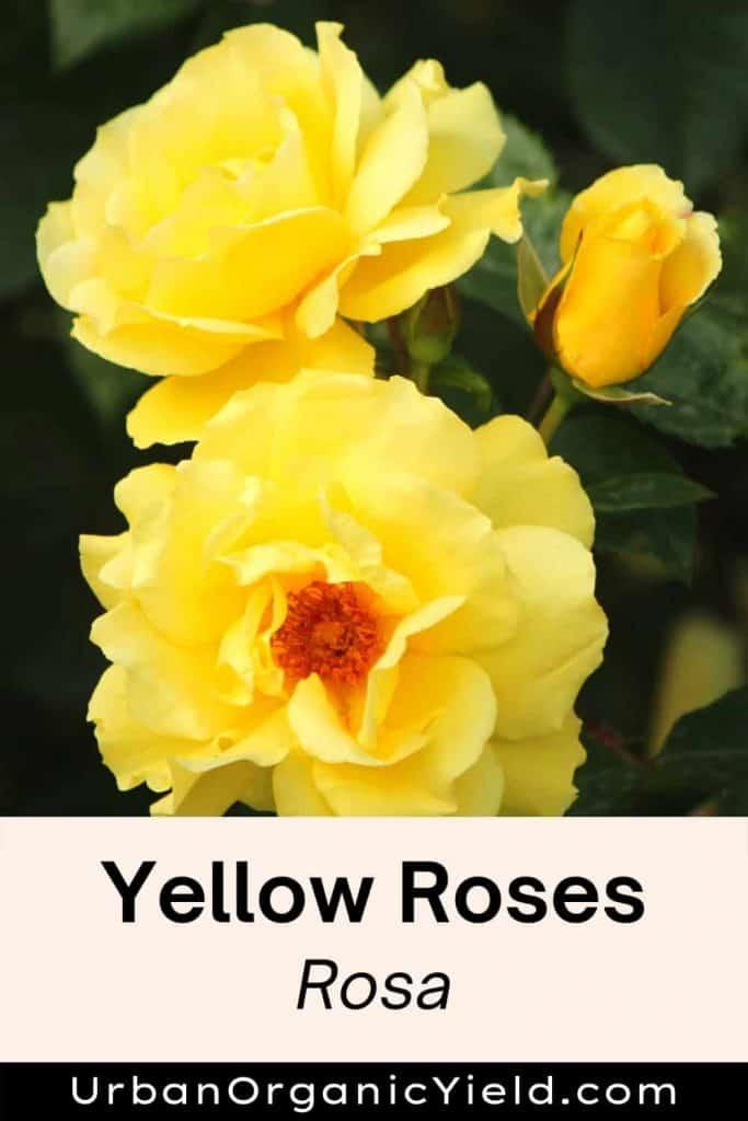 yellow rose rosa shrub