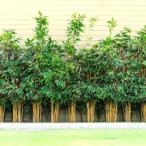 Bamboo Plants Lining Wall