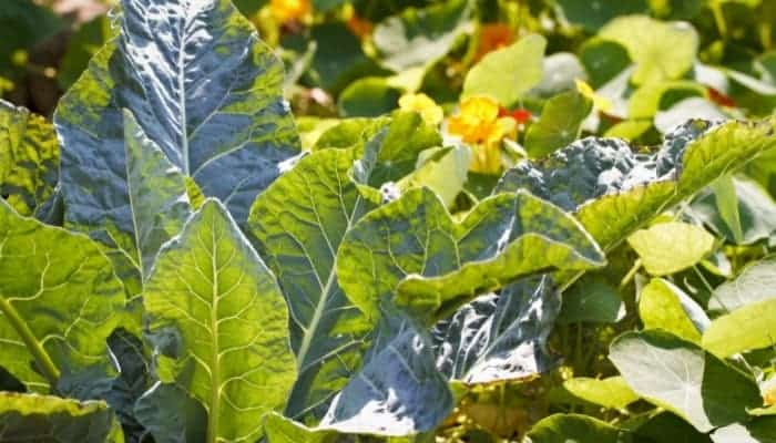 Cabbage companion