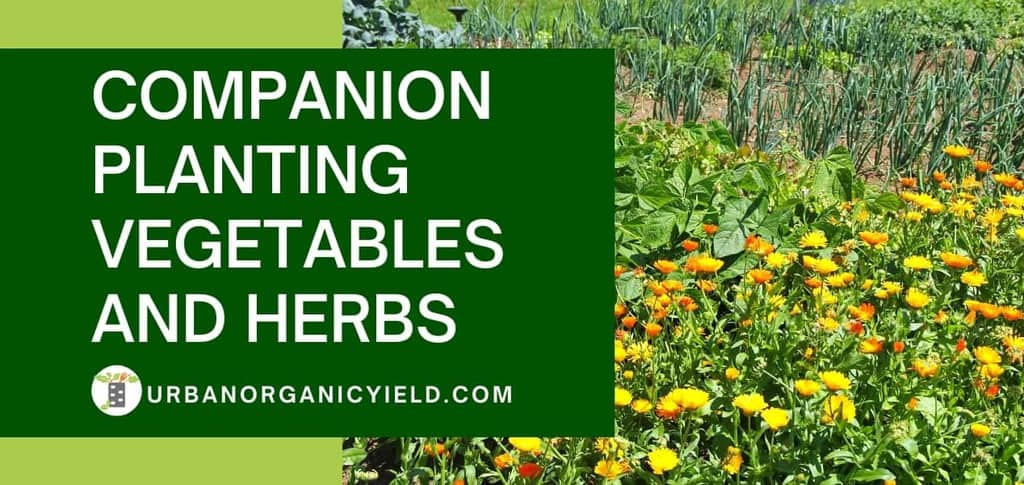 companion planting vegetbales and herbs