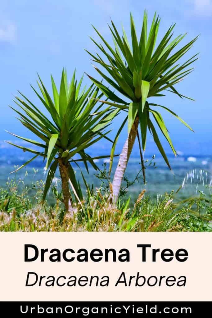 dracaena varieties dracaena tree