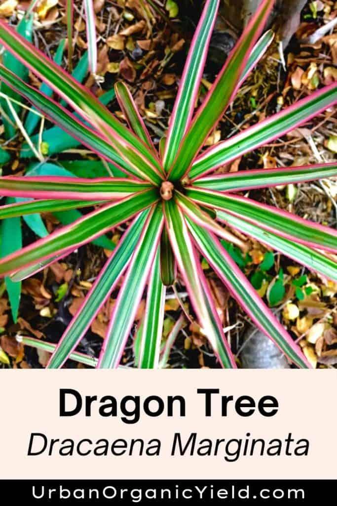 dracaena varieties dragon tree