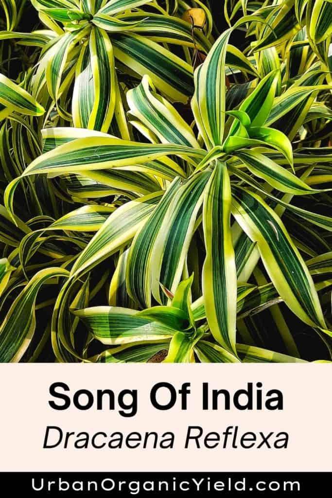 dracaena varieties song of india