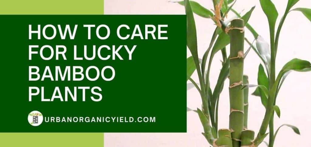 How To Care For Lucky Bamboo Plants