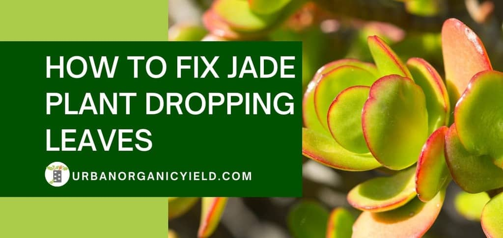 how to fix jade plant dropping leaves