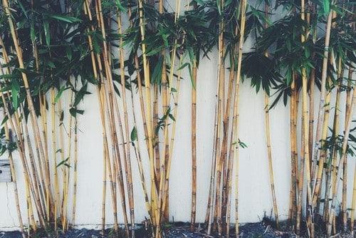 Bamboo plants in the backyard