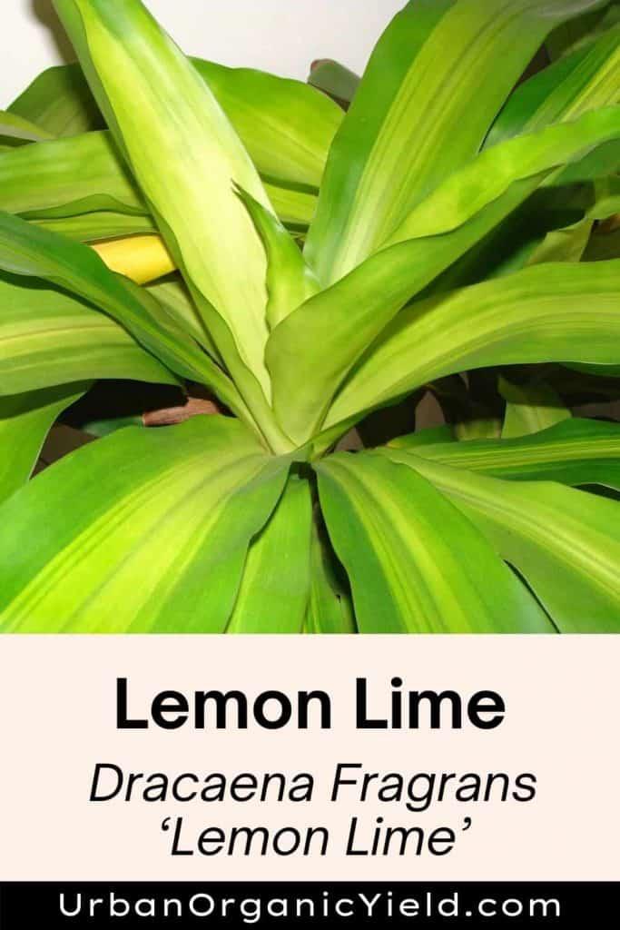 dracaena varieties lemon lime