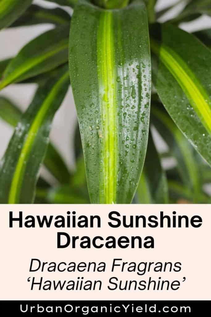 dracaena varieties hawaiian sunshine dracaena