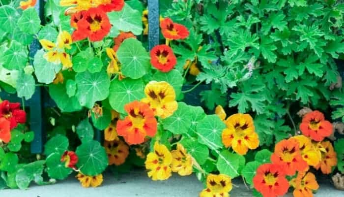 Nasturtium-companion-planting