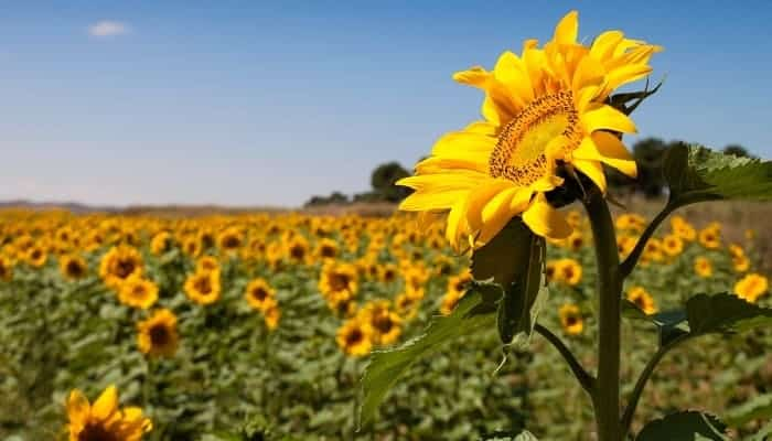 Sunflower-companion-planting