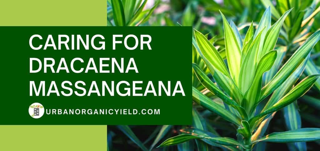 caring for dracaena massangeana