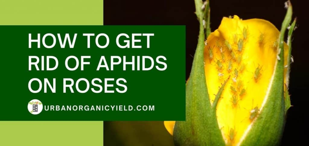 how to get rid of Aphids on roses