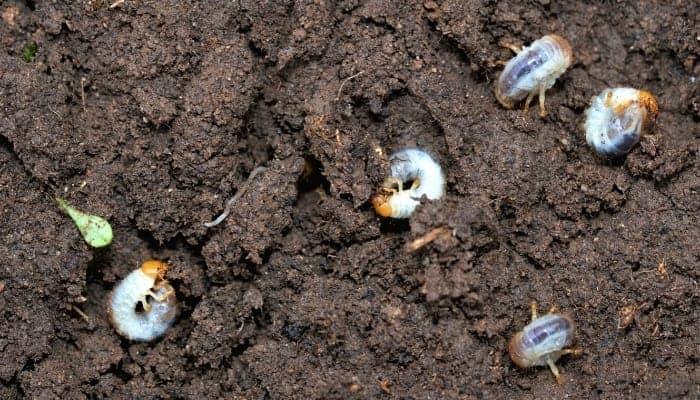 how-to-identify-Grub-infestations