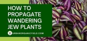 how to propagate wandering jew plants