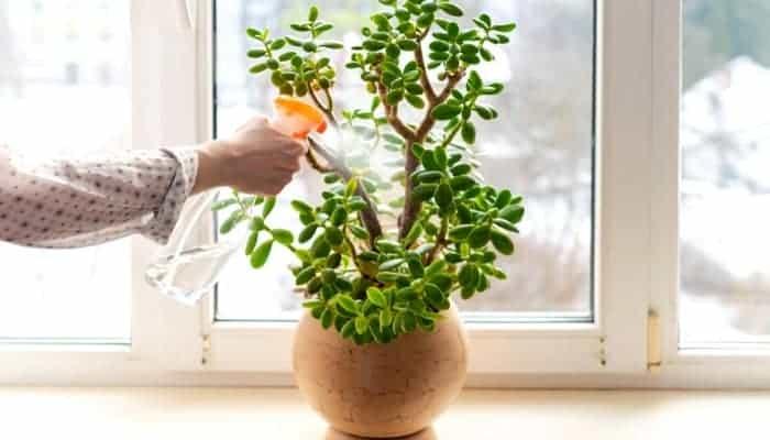 overwatering-and-underwatering-Jade-Plants