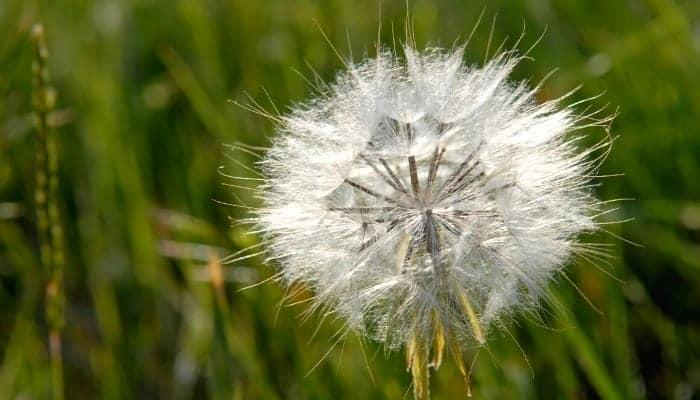 Top 5 Best Dandelion Killer For a Weed-Free Lawn | UrbanOrganicYield.com