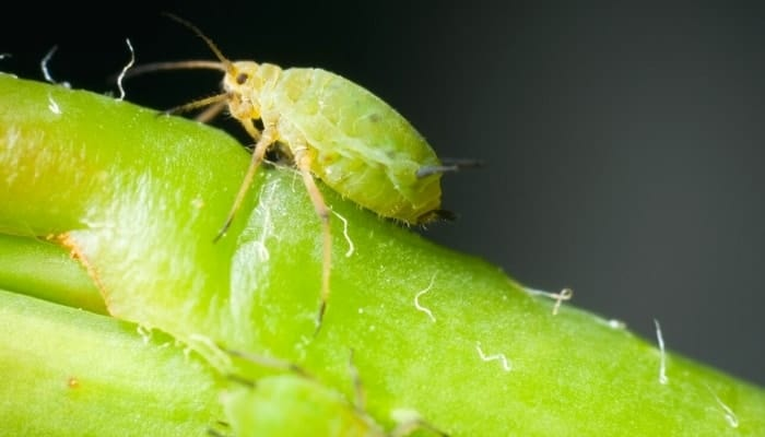 aphids on roses close up view