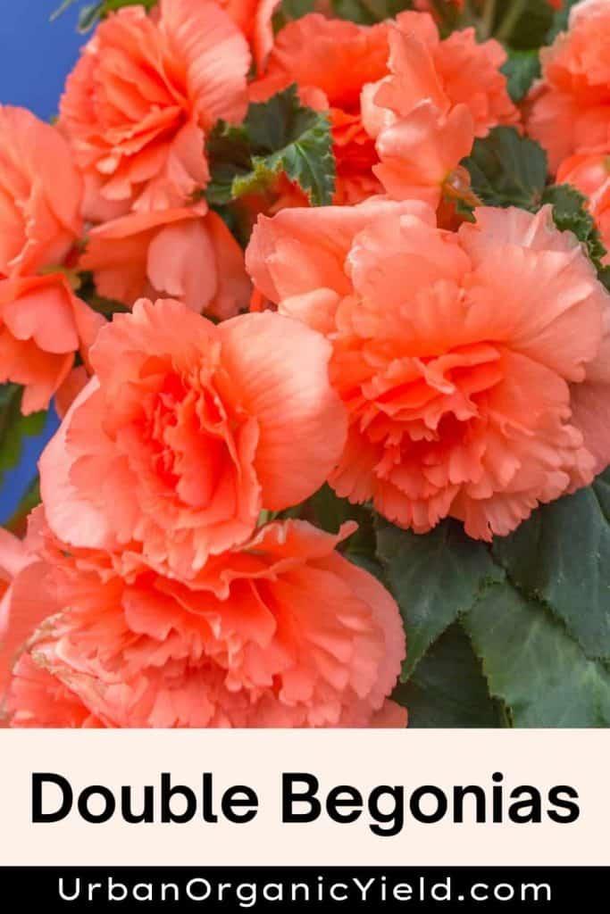 Double-Begonias