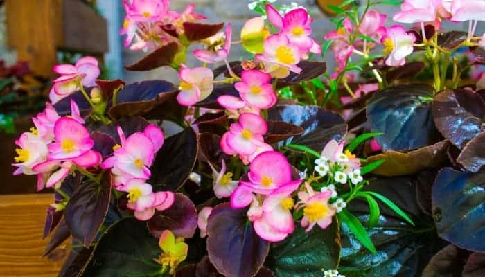 basic-begonia-care-tips-types of begonias