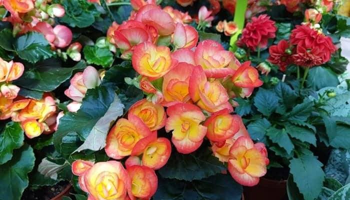 classification-of-Begonias-types of begonias