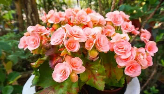 common-characteristics-of-Begonia-Plants