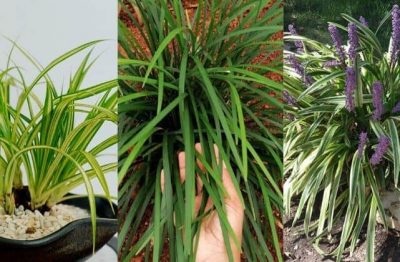 GRACEFUL ORNAMENTAL GRASSES THAT GROWS IN THE SHADE